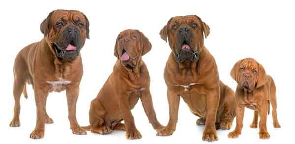 Familie Dogue de bordeaux © cynoclub